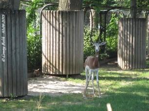 Mhorr-Gazelle mit Baby