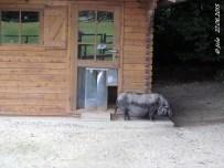 Zwerghängebauchschwein