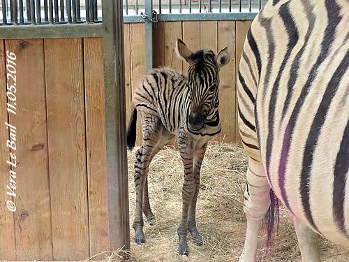 Zebra-Baby