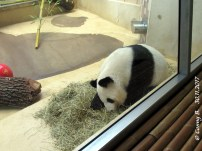 Yang Yang hielt nix vom Schnee draußen!