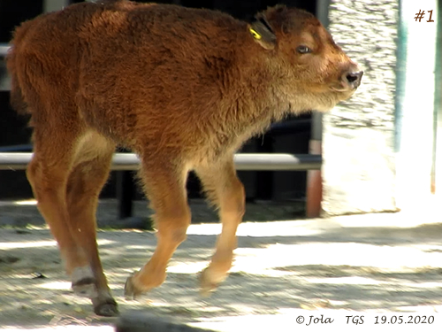 Fliegendes Bison-Baby