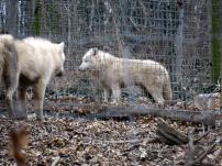 Wolf #1 und #2