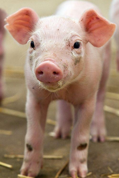 Pigs Amp Warthogs ZooBorns
