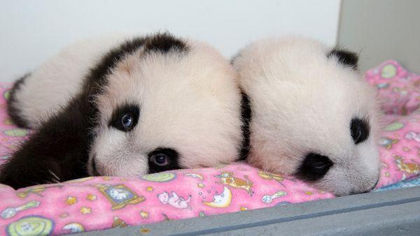 UPDATE Zoo Atlanta Announces Names Of Panda Twins ZooBorns