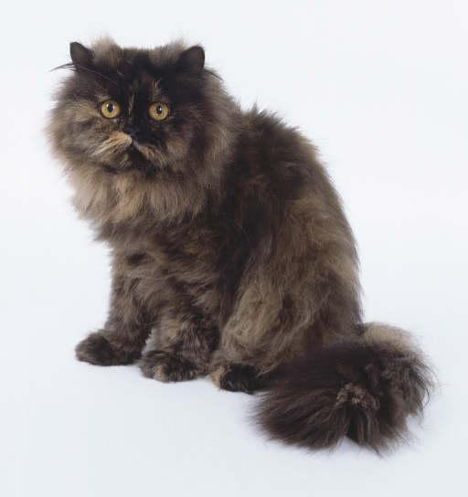 Rase de pisici - pisica persana