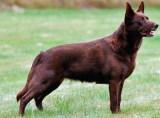 Animale de companie - Specii de Câini - Australian Kelpie