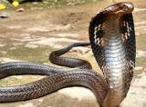 Animale de companie - Şerpii veninoşi