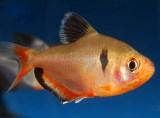 Poze cu animale - Animale de companie - Pesti de acvariu - Tetra Serpae