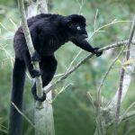 Lemurul negru cu ochi albaștri (Eulemur flavifrons)