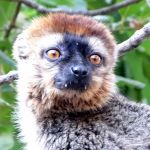 Lemurul roșu (Eulemur rufus)