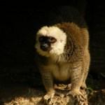 Lemurul cu capul alb (Eulemur albifrons)