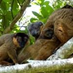 Lemurul cu guler maro (Eulemur collaris)