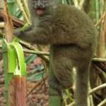 Lemurul nordic de bambus (northern bamboo lemur - Hapalemur occidentalis)