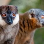 Lemurul cu capul gri (Eulemur cinereiceps)