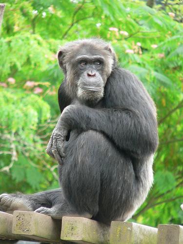 チンパンジーの寿命と生態