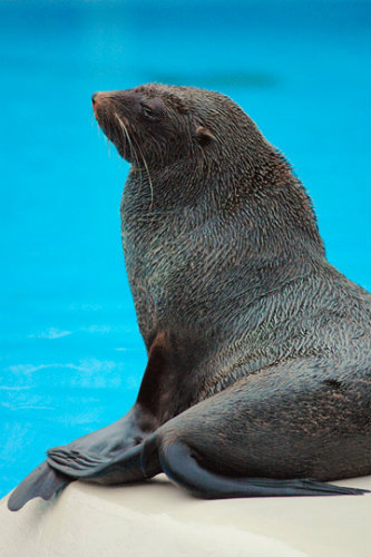 south_african_fur_seal