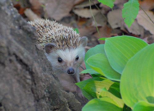 four_toed_hedgehog