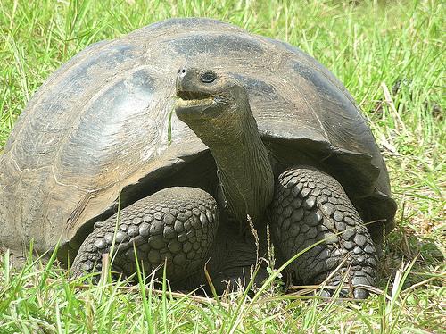 galapagos_giant_tortoise