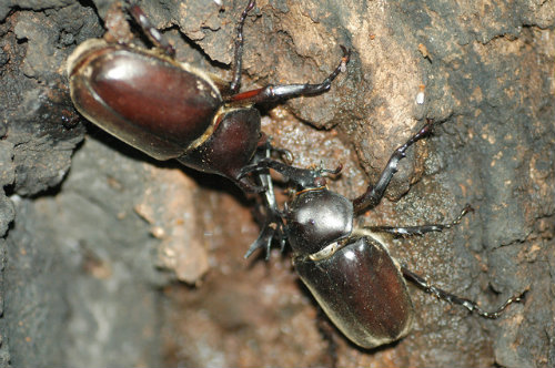 japanese_rhinoceros_beetle