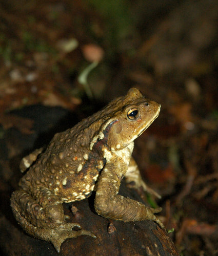 japanese_toad