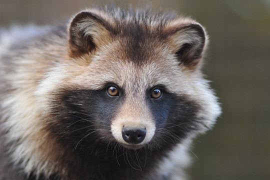 raccoon_dog