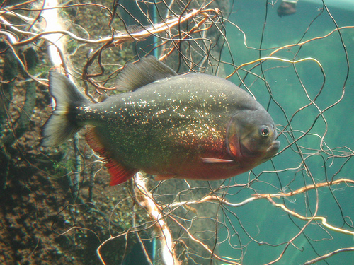 red_bellied_piranha