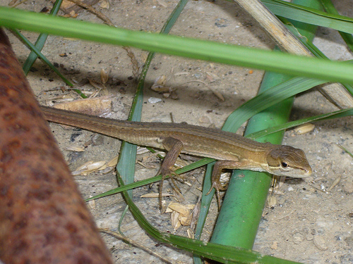 japanese_grass_lizard
