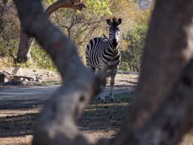 Zebra in the front garden