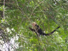 White-headed capuchin (Palo Verde)