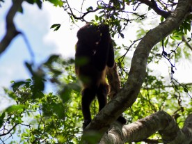 Howler monkey (Tamarindo)