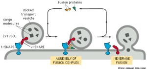 Vesicle Transport and Protein Processing