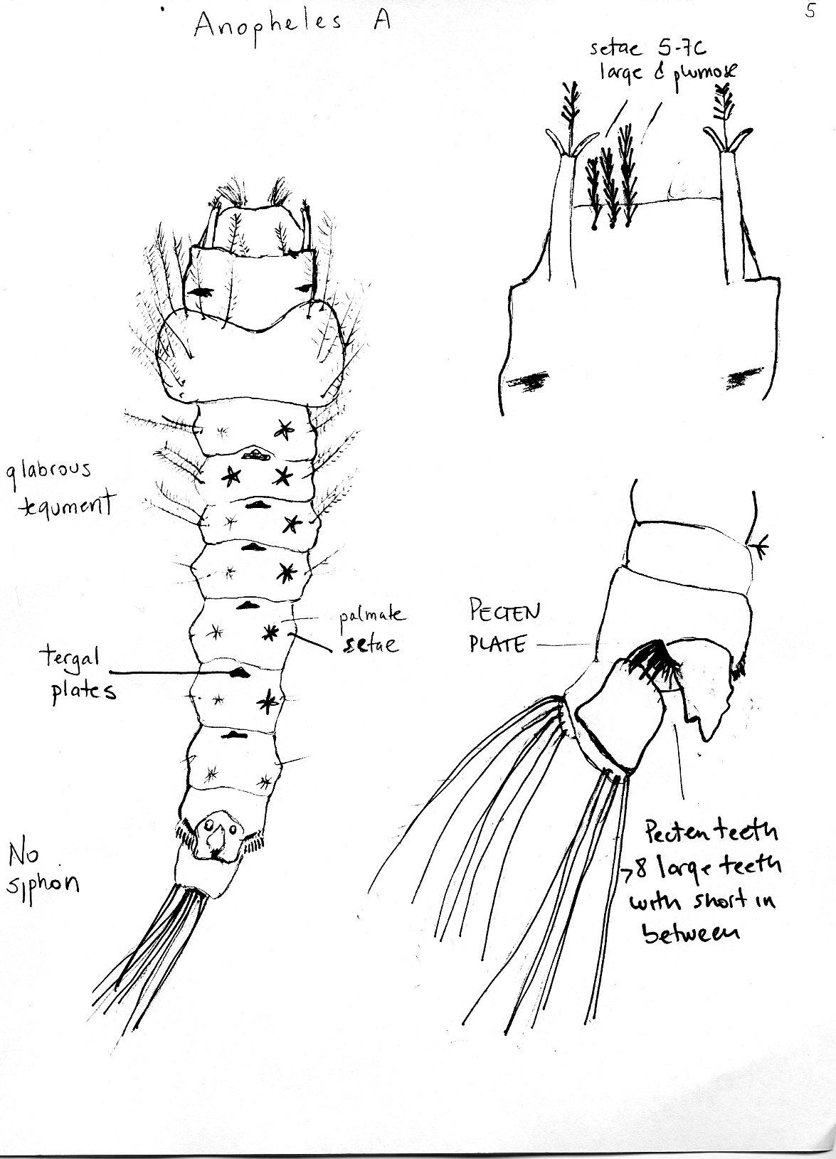 Tree Holes Larvae
