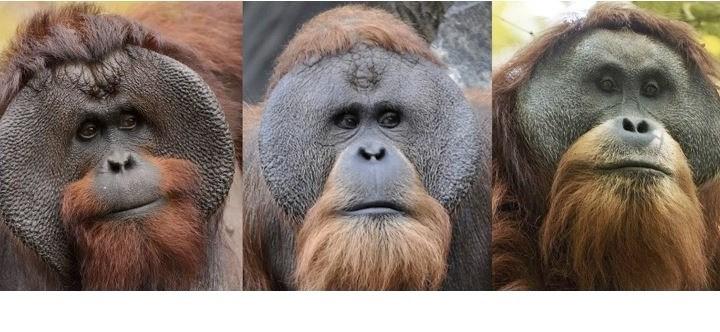 Indonesia: stiamo perdendo l'orango appena scoperto!