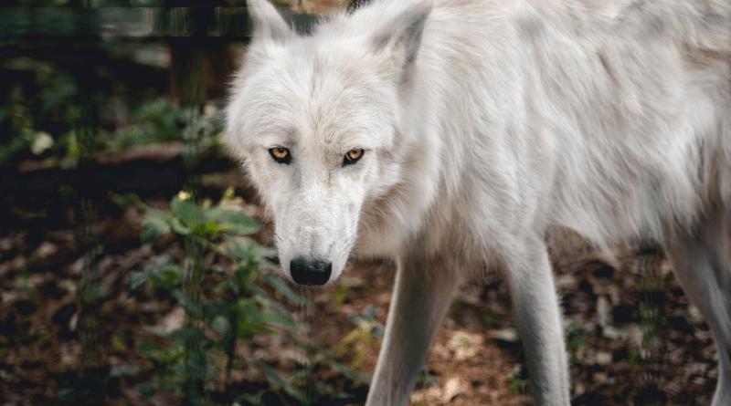 Piano lupi: il ministro Costa vuole proibire gli abbattimenti