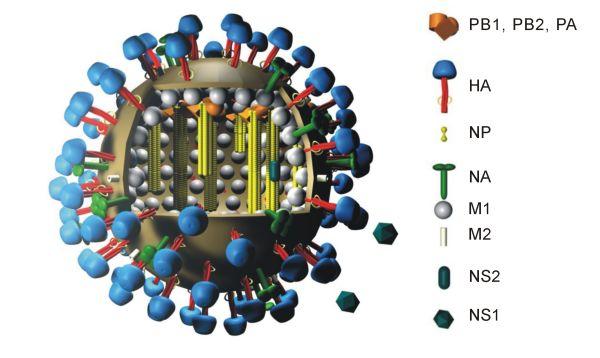 L'influenza A sottotipo H1N1, sintomi e consigli utili per prevenirla