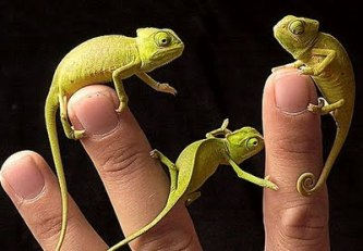 baby-camaleonti