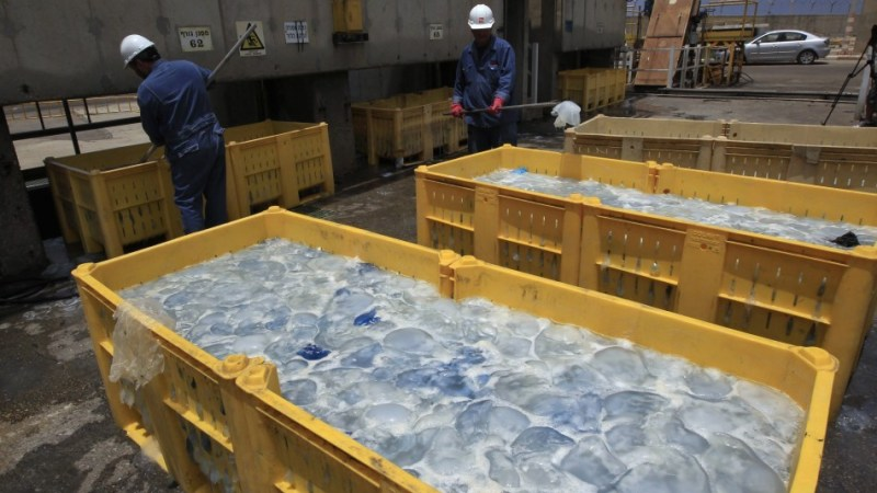 Meduse Bloccano Reattori Nucleari in Giappone, Israele e Scozia