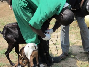 Busia-goat blood sampling