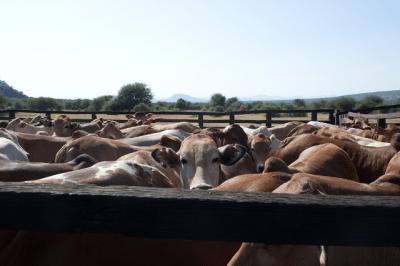 Livestock demography
