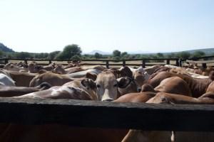 Livestock health