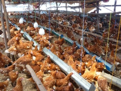 Poultry value chain