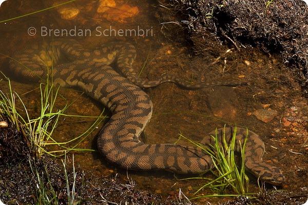 Арафурская бородавчатая змея (лат. Acrochordus arafurae)