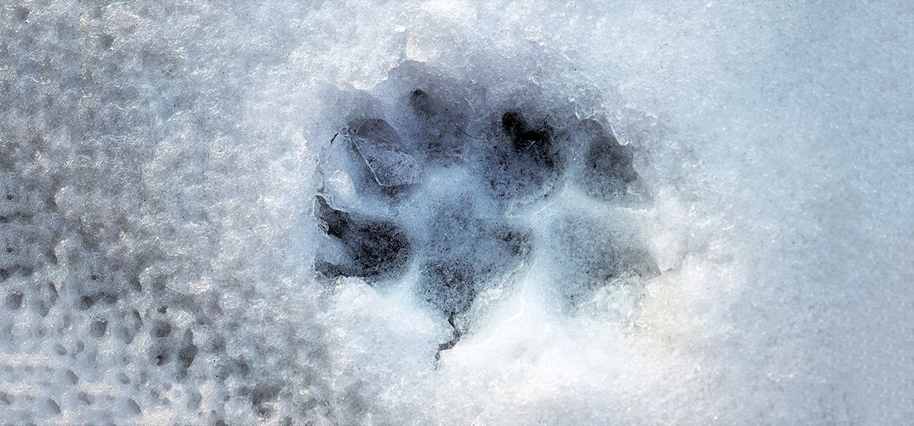 Animal Snow Identifying Tracks
