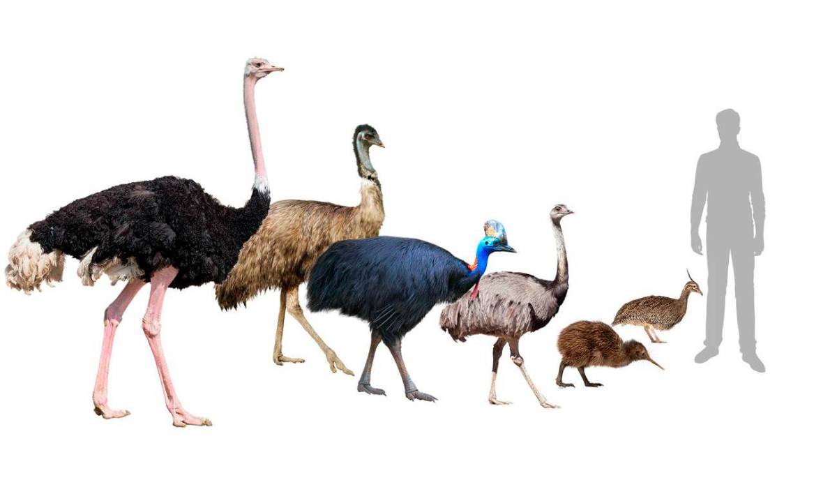 Ostrich rhea kiwi cassowary emu