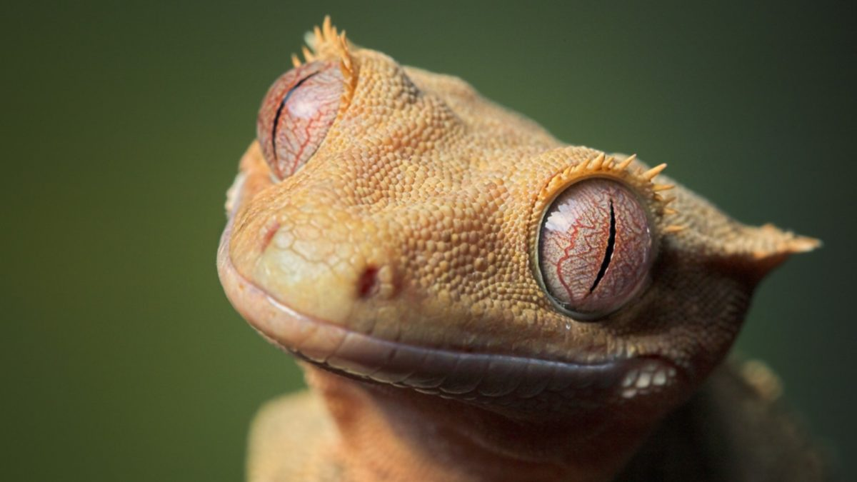 crested gecko lighting guide zoo reptilia