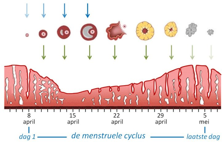 Afbeeldingsresultaat voor menstruatie