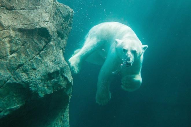 Urso polar é uma das principais atrações do Zoológico de Viena | Foto: Divulgação