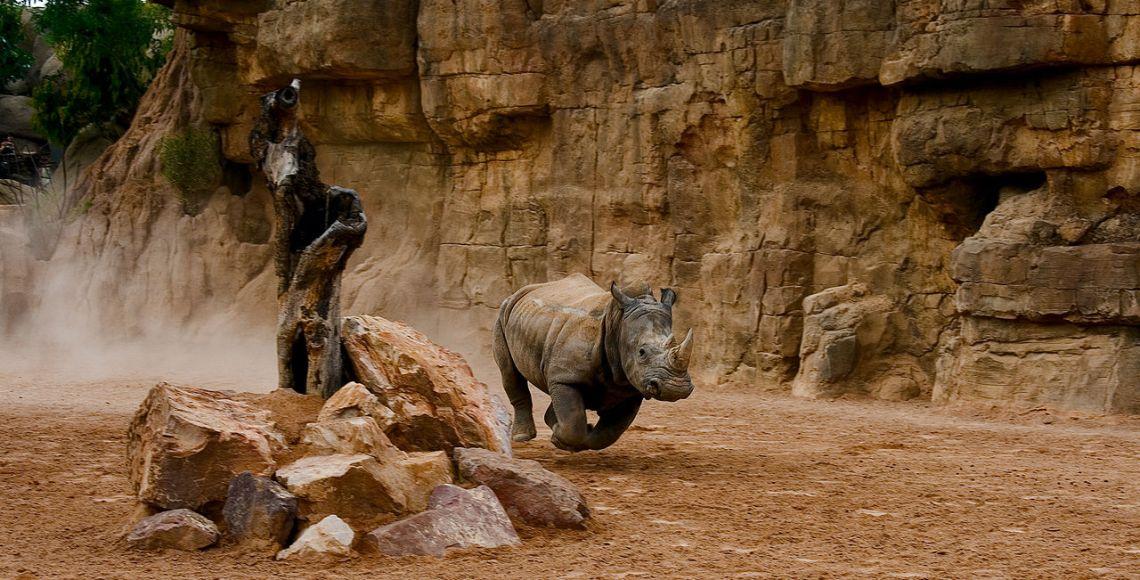 O ameaçado rinoceronte corre no Bioparc Valencia| Foto: Gabriel Villena/Wikimedia