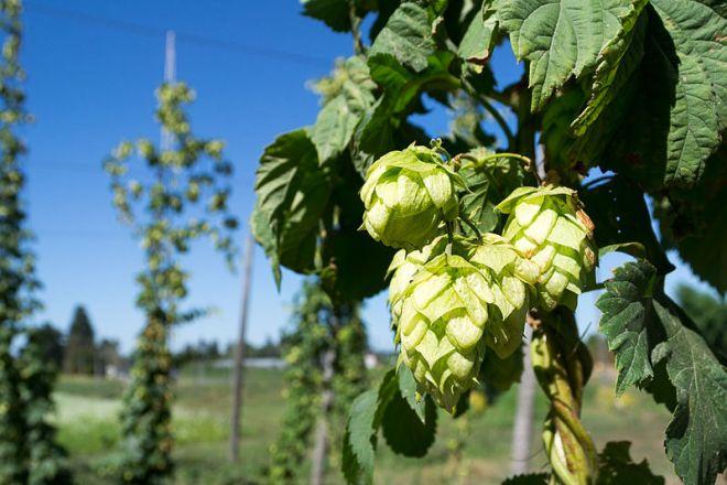 Onda de calor ameaça as plantações de lúpulo, um dos principais ingredientes da cerveja | Foto: Visitor7/Creative Commons