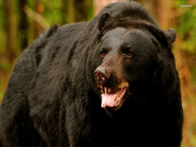 Αρκούδα τρεφόταν από το σώμα 65χρονου
